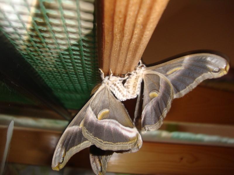 Philosamia ricini-Bombyx éri Photo_26