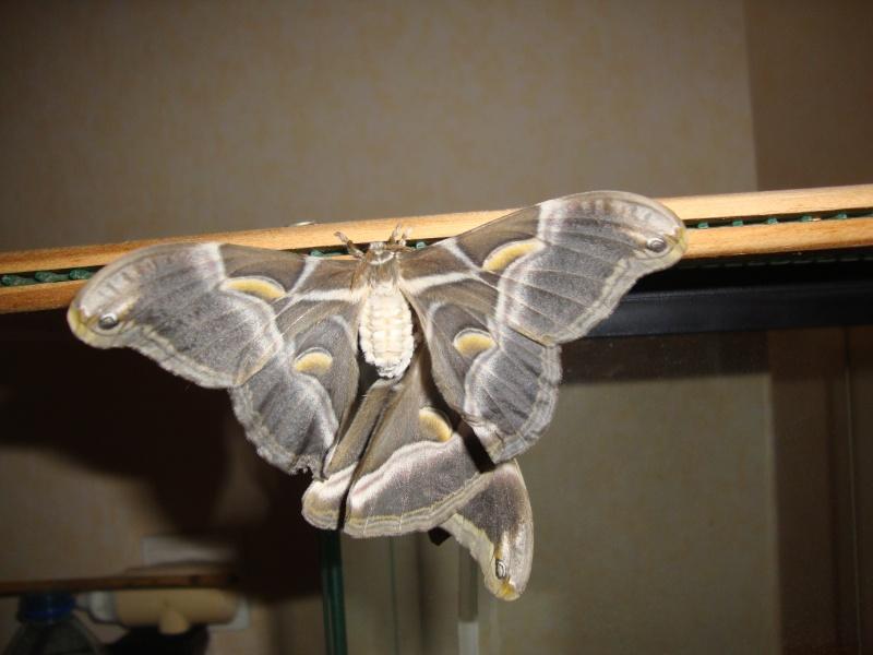 Philosamia ricini-Bombyx éri Photo_27