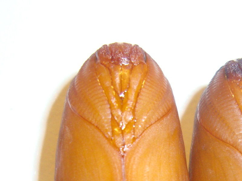 Sexage chrysalides (Papillons nocturnes)-Bombyx éri Photo_46