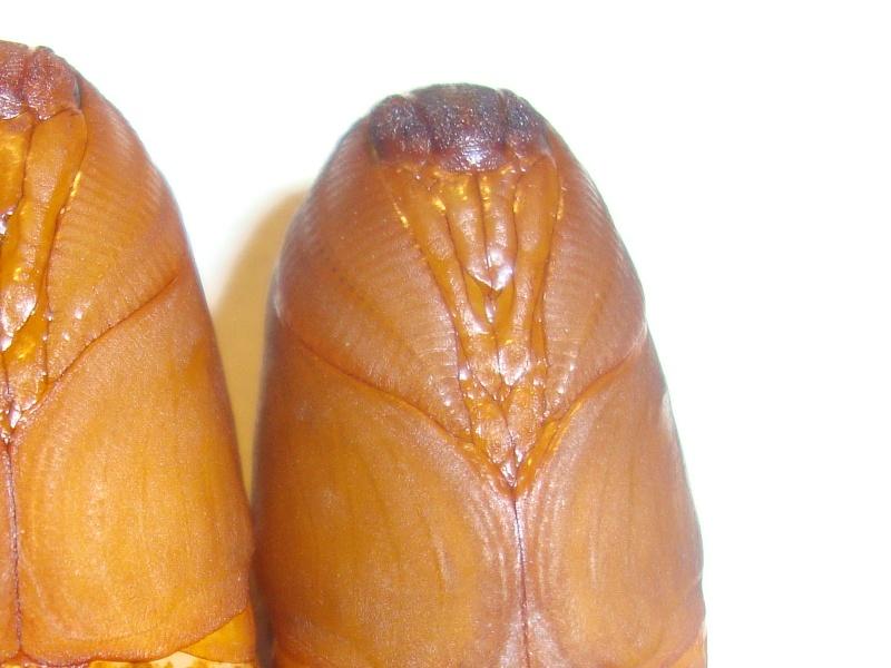 Sexage chrysalides (Papillons nocturnes)-Bombyx éri Photo_47