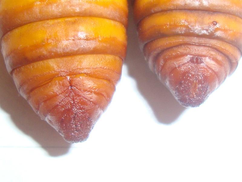 Sexage chrysalides (Papillons nocturnes)-Bombyx éri Photo_50