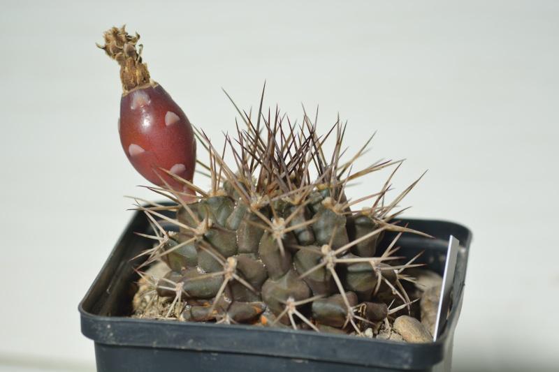 fleurs de cactus et  Aizoaceae au fil des saisons (I)  Dsc_0310