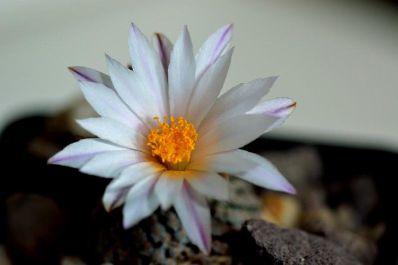 fleurs de cactus et  Aizoaceae au fil des saisons (I)  Dsc_0311