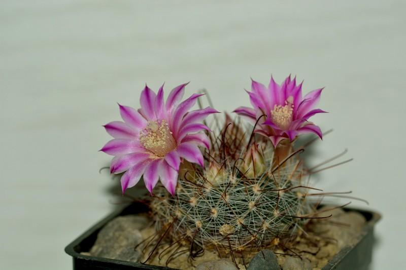 fleurs de cactus et  Aizoaceae au fil des saisons (I)  Sans_t56
