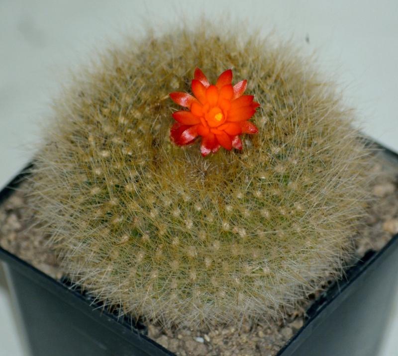 fleurs de cactus et  Aizoaceae au fil des saisons (I)  Sans_t57