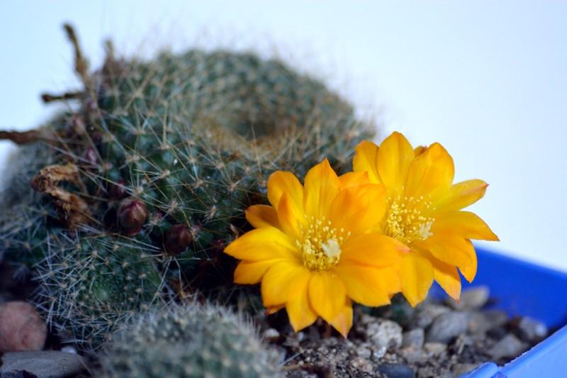 fleurs de cactus et  Aizoaceae au fil des saisons (I)  Sans_t60
