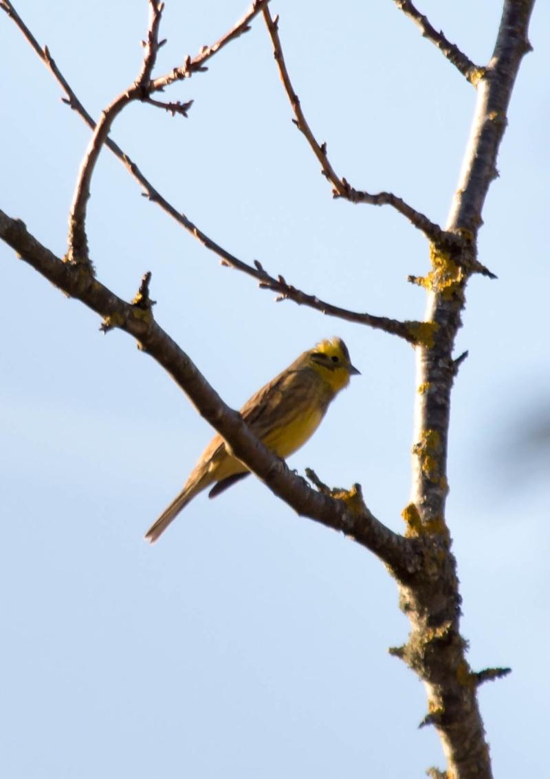 les oiseaux et petites bêtes au cours de nos balades - Page 2 Serin_10