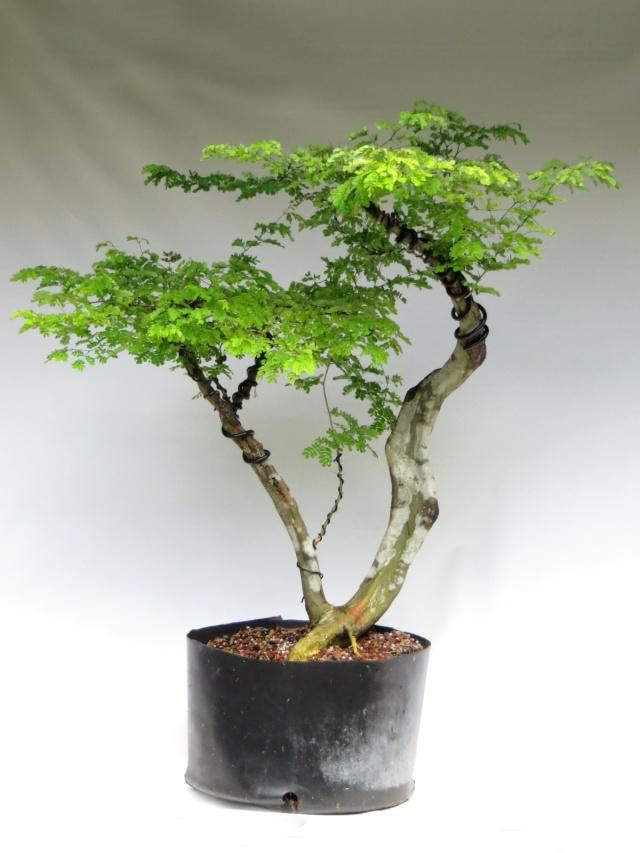 Future Flat Top, Raintree Img_1712