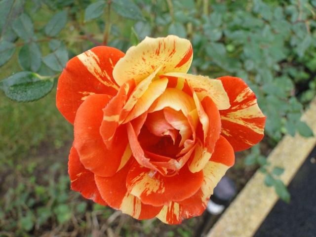 Roses de nos jardins 00610