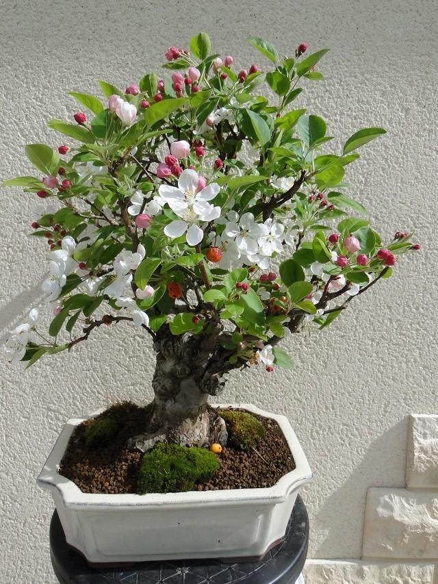 la passion du bonsai - Page 2 Dsc04914