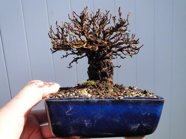 la passion du bonsai - Page 3 Dsc04920