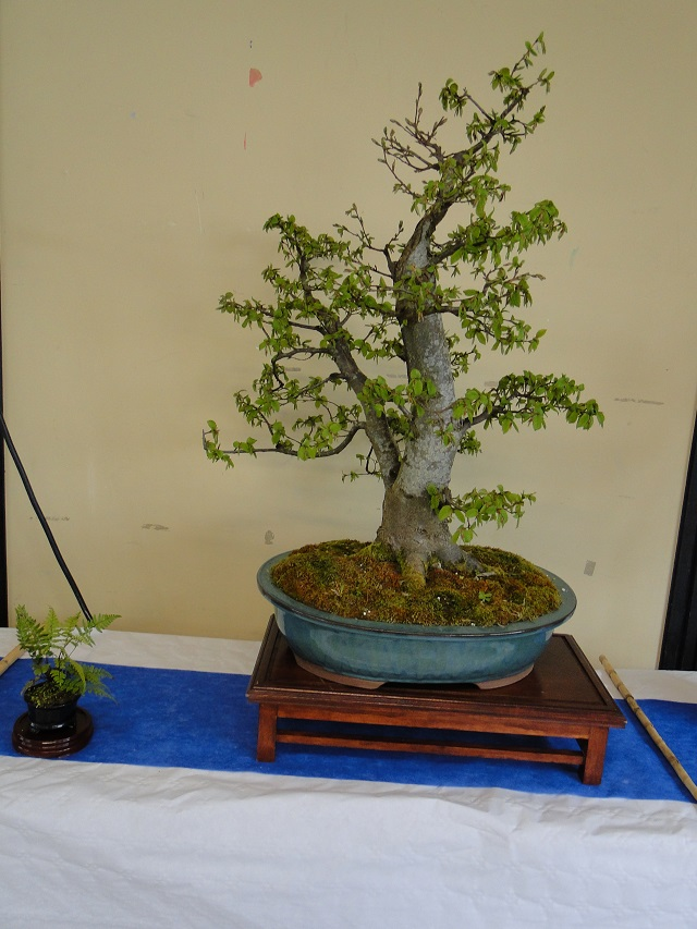 la passion du bonsai - Page 4 Dsc04939