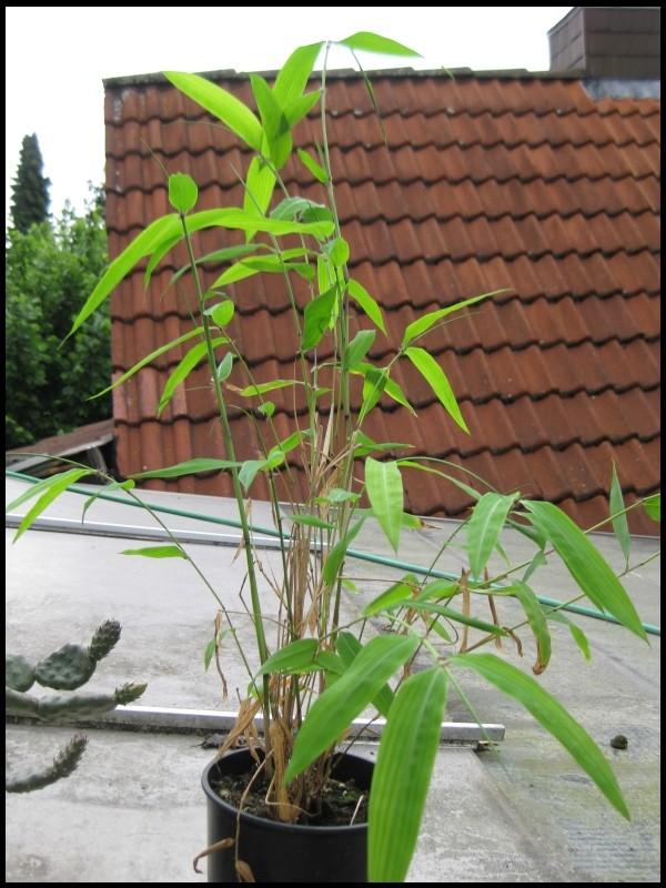 Bambus - Kultur, Aussaat, Pflege, Diskussion und Bilder von Bambusa und Fargesia Img_0036