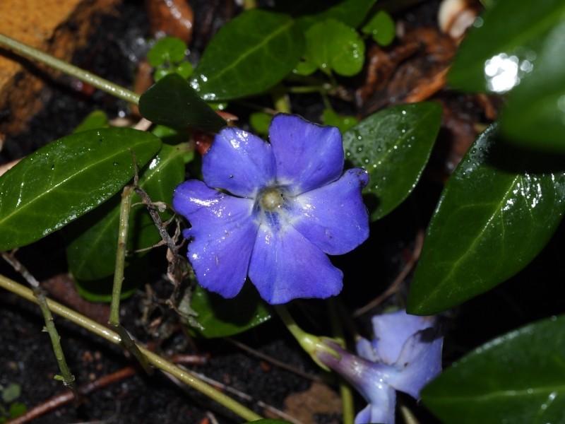 Winterblüher - Es blüht noch was im Garten P1010110