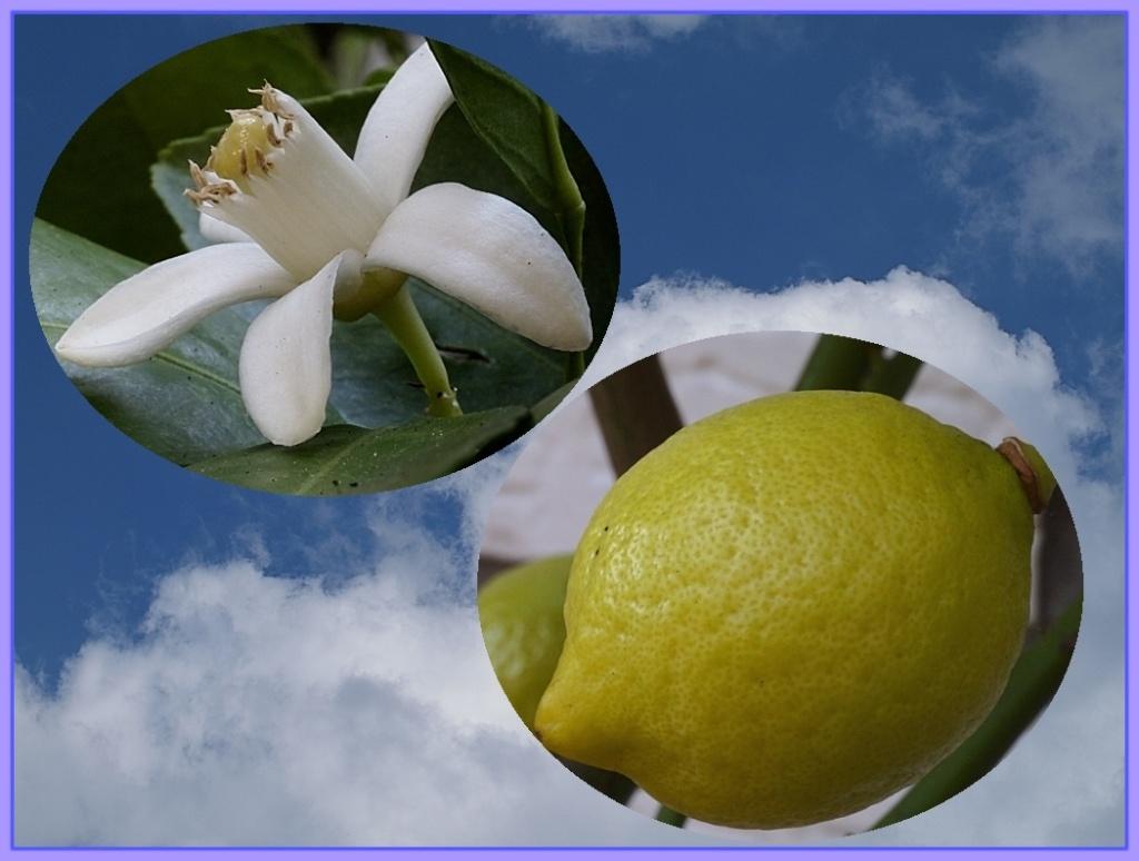Citrus - alles über Orangen, Zitronen, Limetten, Kumquats: Aussaat, Stecklinge u.v.m. Z110