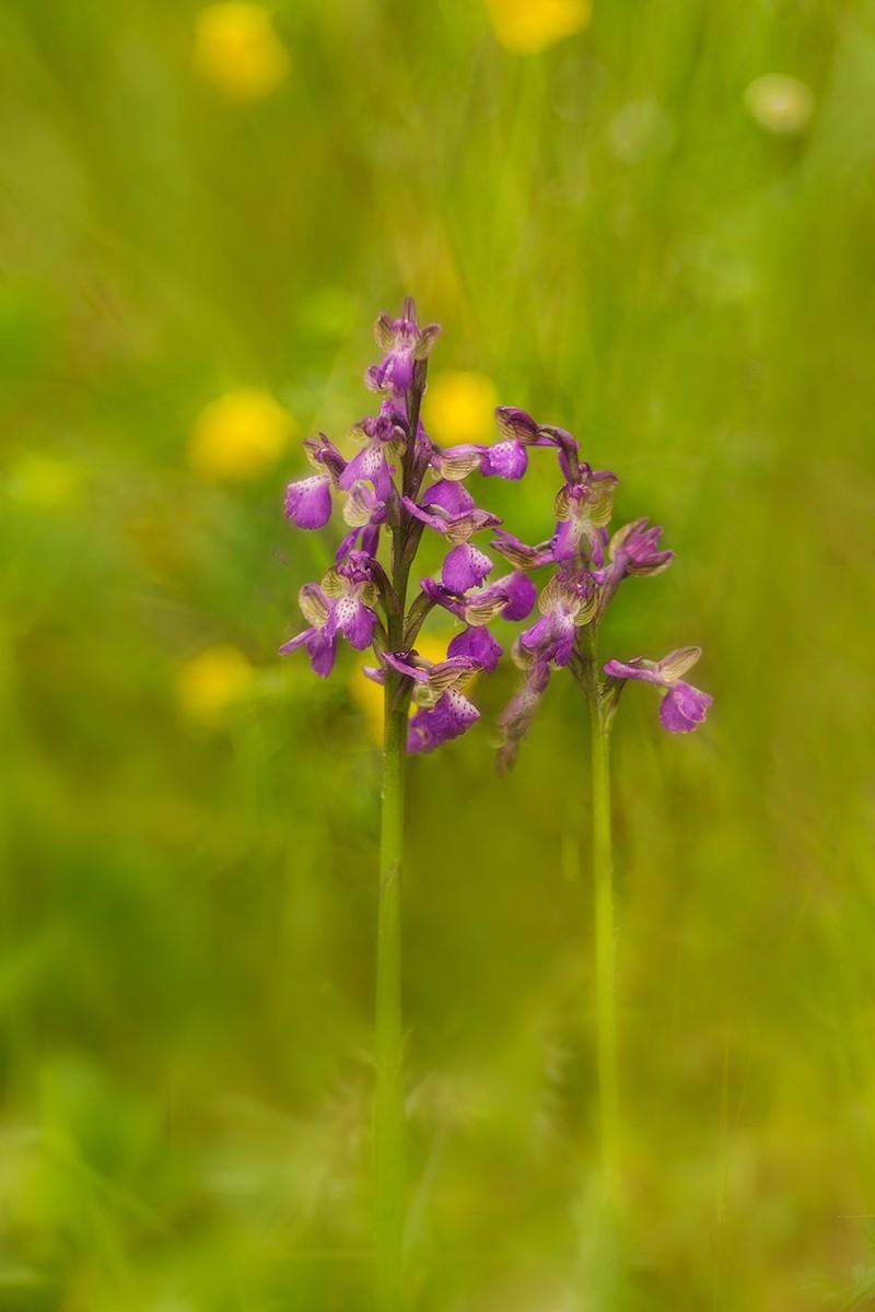 identificazione orchidee _60a2011