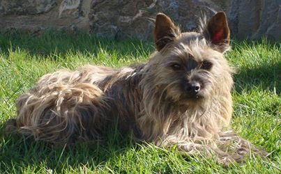 Dadou, chien cairn terrrier disparu à Corps Nuds depuis le 16 février. 15054510