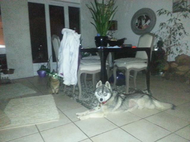 HELYANA  husky  née   08/2012/ pas de chats.   en pension  ( 49 ) ADOPTEE - Page 2 20140214