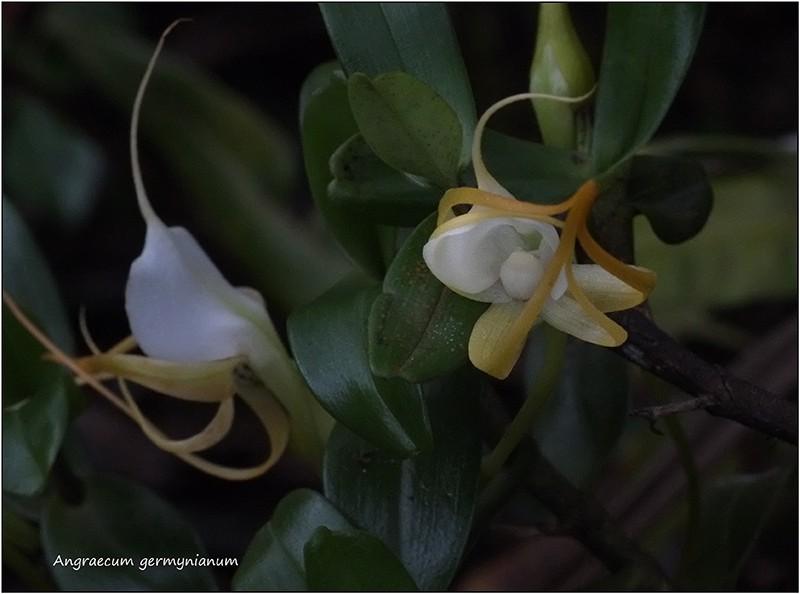 Angraecum germinyanum + corrugatum - deux raretés  80010