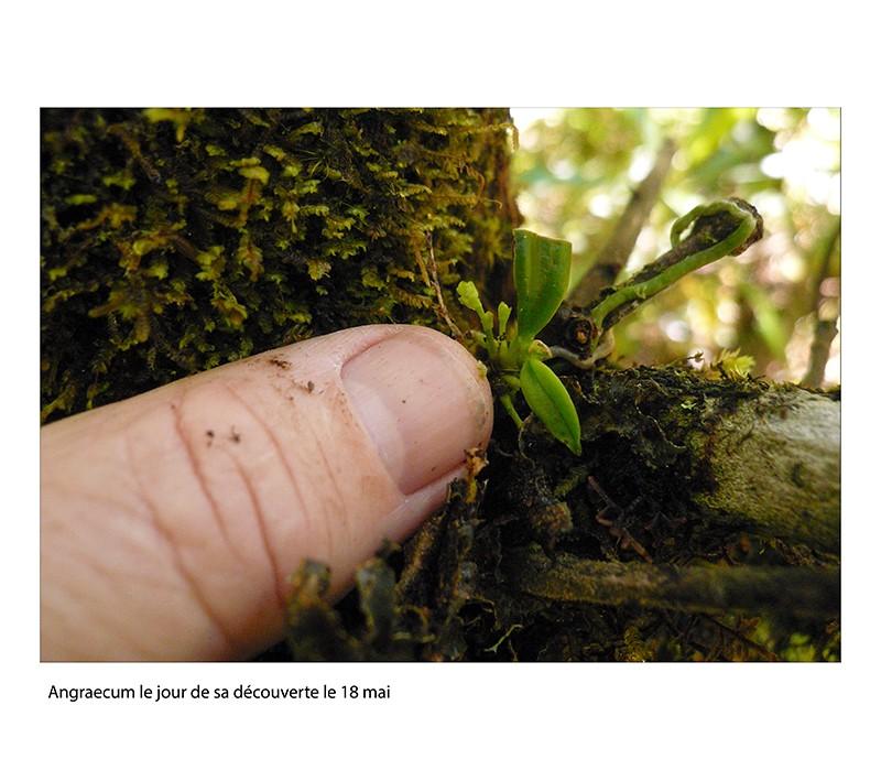 Angraecum microphyton ... ou tenellum ( ? ) Angrae11