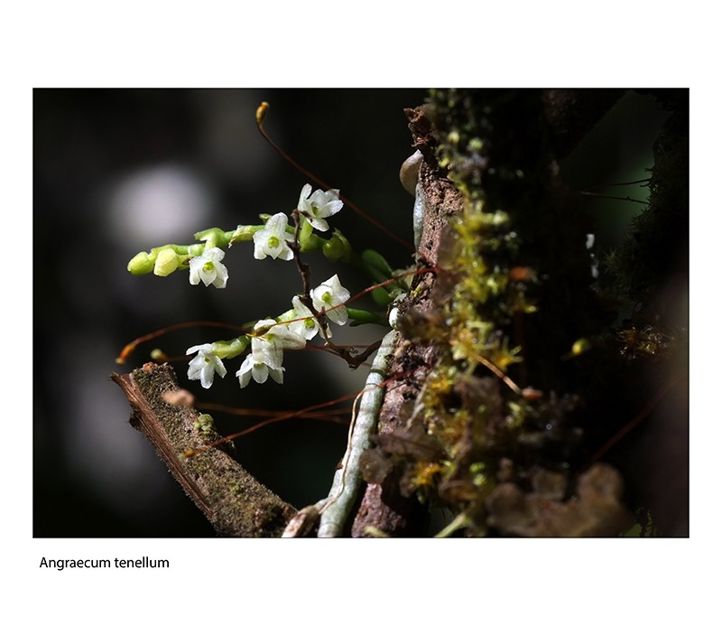 Angraecum microphyton ... ou tenellum ( ? ) Angrae14