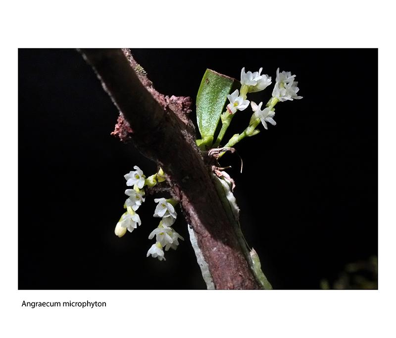 Angraecum microphyton ... ou tenellum ( ? ) Angrae15