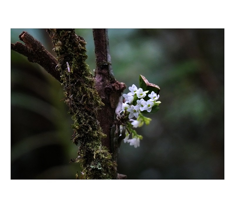 Angraecum microphyton ... ou tenellum ( ? ) Angrae17
