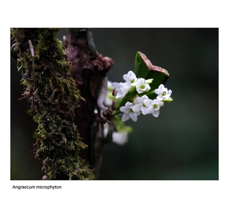 Angraecum microphyton ... ou tenellum ( ? ) Angrae18