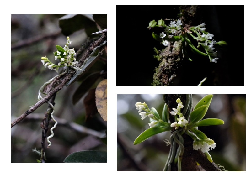 Angraecum microphyton ... ou tenellum ( ? ) Angrae20
