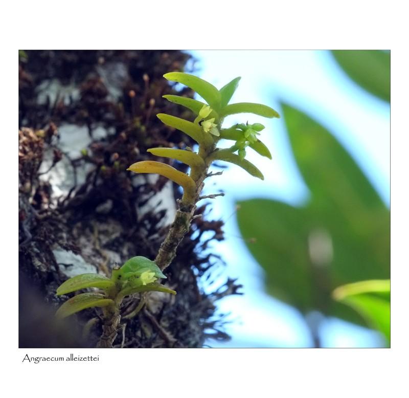 angraecum rare et bulbo caespitosum Angrae30
