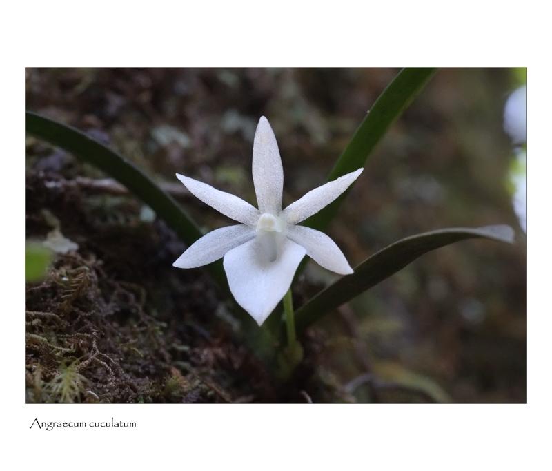 angraecum rare et bulbo caespitosum Angrae31