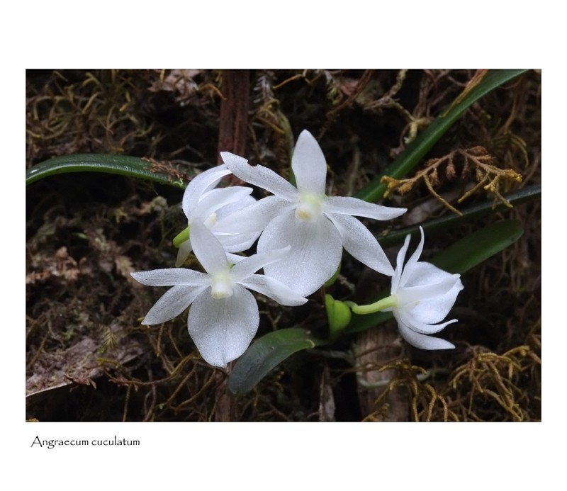 angraecum rare et bulbo caespitosum Angrae33