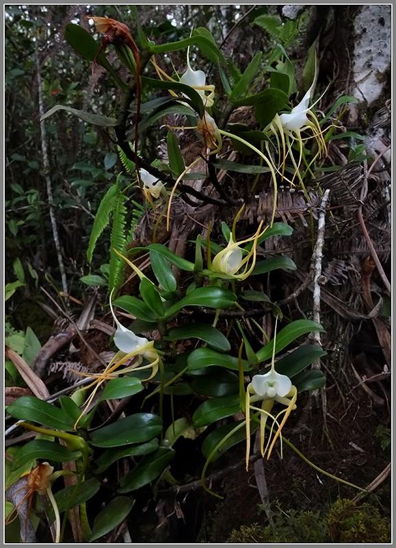 Angraecum germinyanum + corrugatum - deux raretés  Angrae45