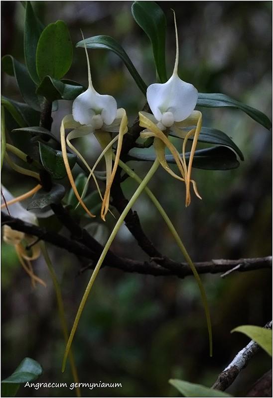 Angraecum germinyanum + corrugatum - deux raretés  Angrae46