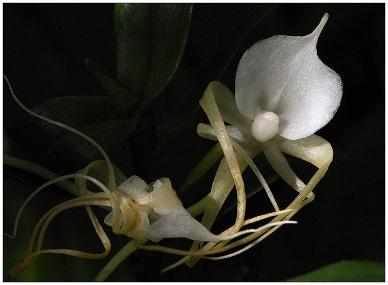 Angraecum germinyanum + corrugatum - deux raretés  Angrae54