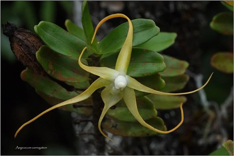Angraecum germinyanum + corrugatum - deux raretés  Angrae57