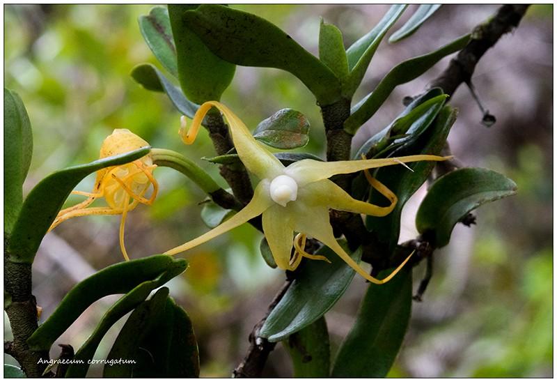 Angraecum germinyanum + corrugatum - deux raretés  Angrae59