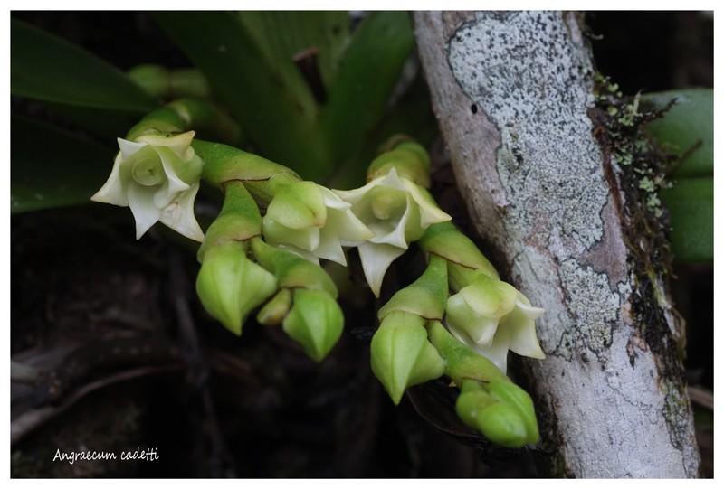 Angraecum germinyanum + corrugatum - deux raretés  Angrae61