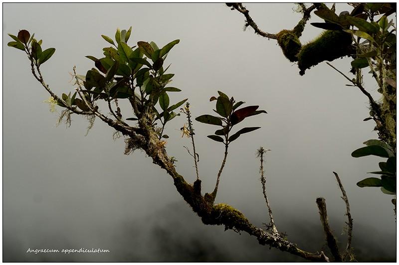 Angraecum germinyanum + corrugatum - deux raretés  Angrae62