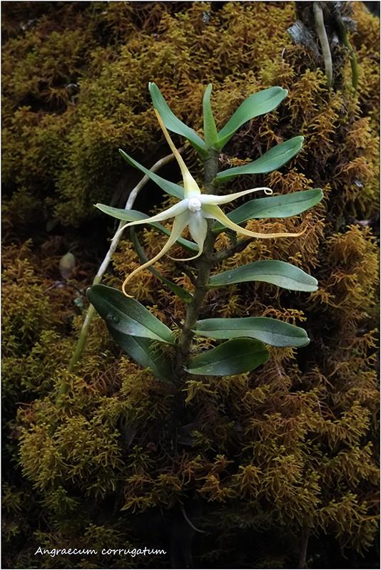 Angraecum germinyanum + corrugatum - deux raretés  Angrae64