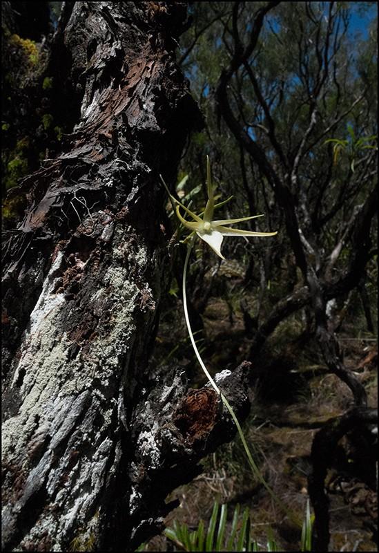 Angraecum cornigerum, la belle endémique Angrae65