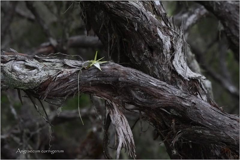 Angraecum cornigerum, la belle endémique Angrae67