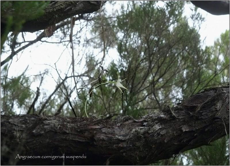 Angraecum cornigerum, la belle endémique Angrae69