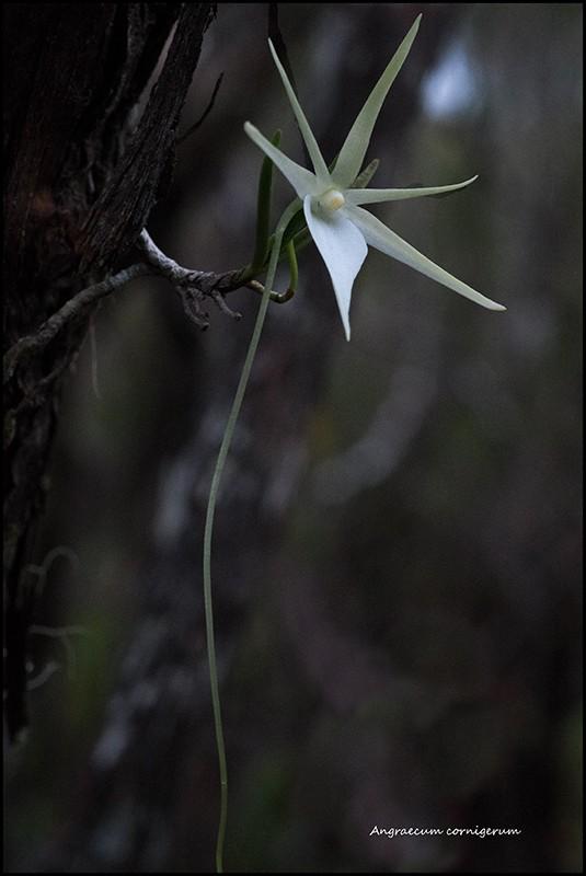 Angraecum cornigerum, la belle endémique Angrae70