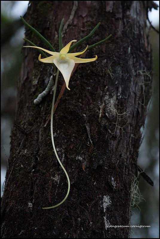 Angraecum cornigerum, la belle endémique Angrae72