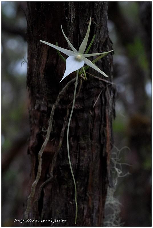 Angraecum cornigerum, la belle endémique Angrae73