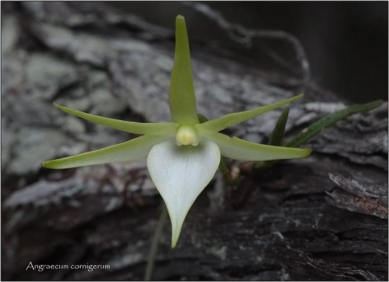 Angraecum cornigerum, la belle endémique Angrae76
