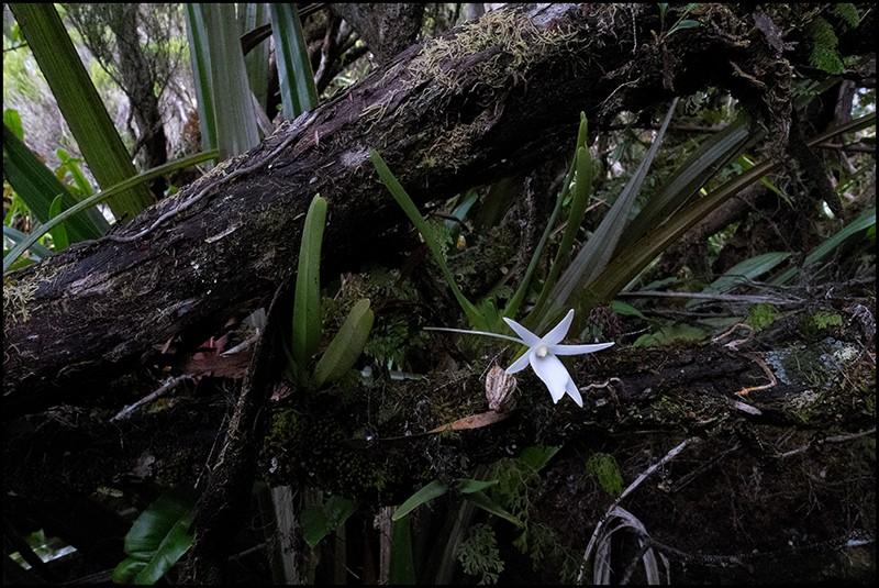 Angraecum borbonicum, orchidée commune mais capricieuse Angrae79