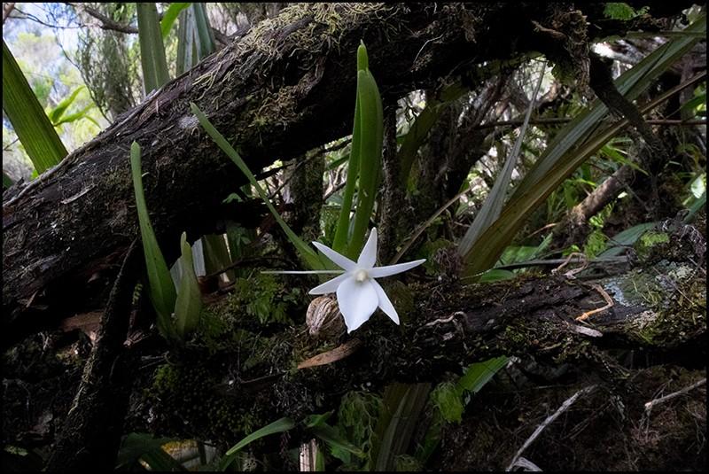 Angraecum borbonicum, orchidée commune mais capricieuse Angrae80