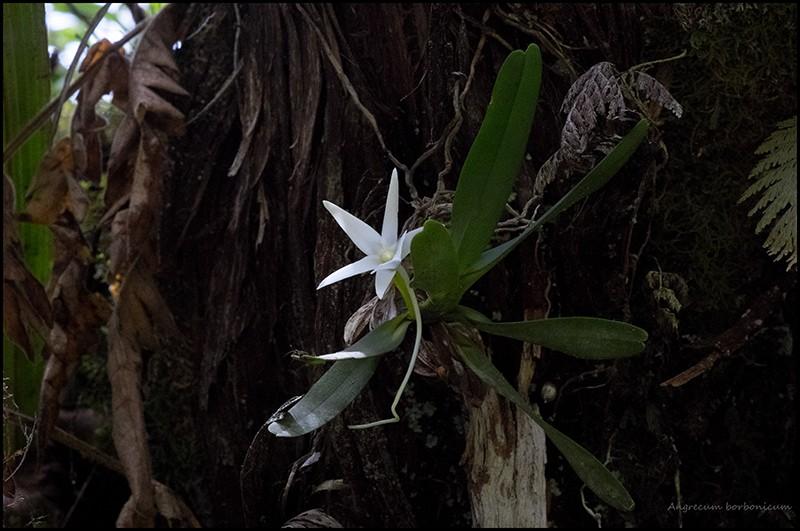 Angraecum borbonicum, orchidée commune mais capricieuse Angrae81